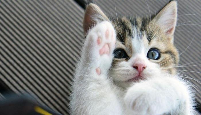 síntomas del megacolon en gatos