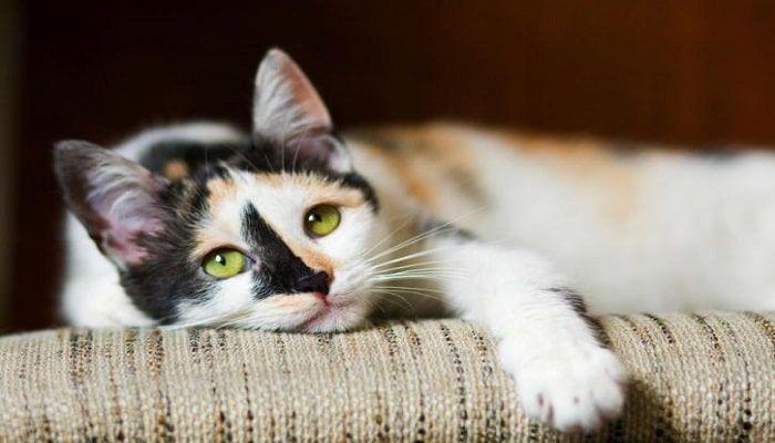 tratamiento de la miasis en gatos