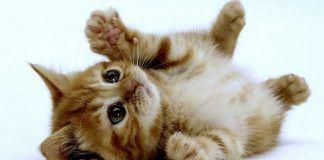 miasis en gatos