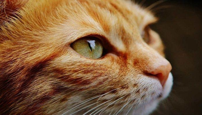 síntomas de la micosis en gatos