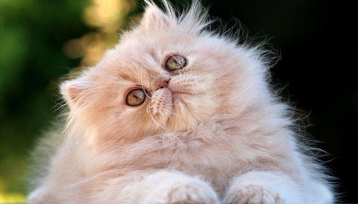micosis en gatos