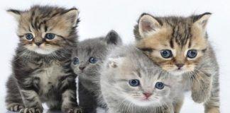 microsporum canis en gatos