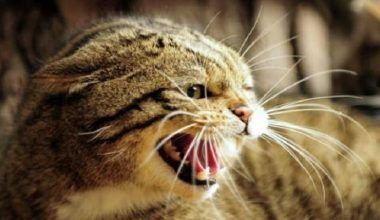 rabia en gatos