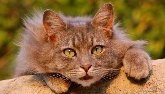 remedios caseros para el resfriado en gatos
