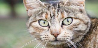 sarcoma en gatos