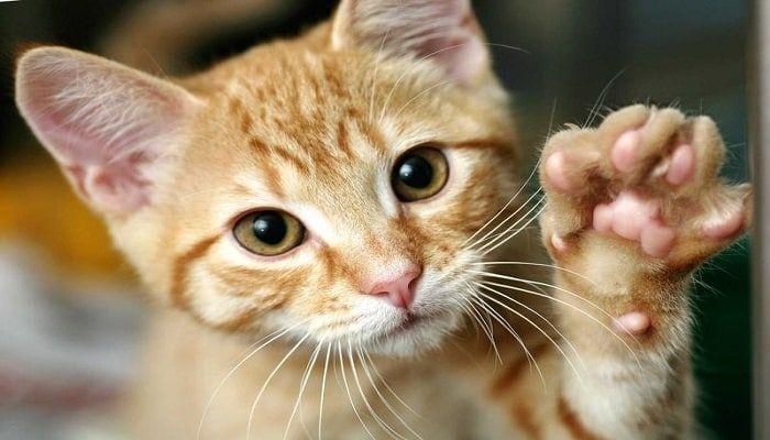 sarna sarcóptica en gatos