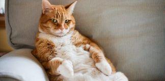 cómo drenar un absceso en gatos