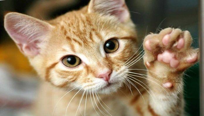 cómo identificar la sarna en gatos