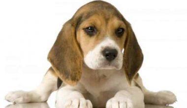 Comportamiento De Los Perros Beagle