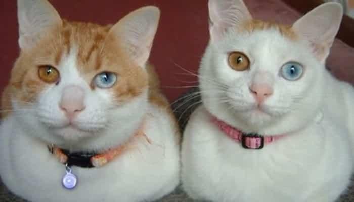 Gatos con ojos diferentes