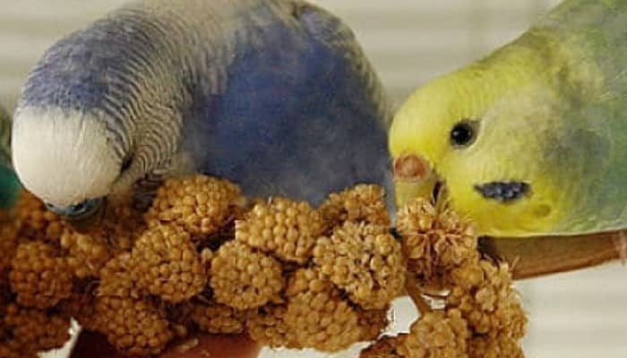 los periquitos y su alimentacion