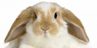 Las Orejas Del Conejo